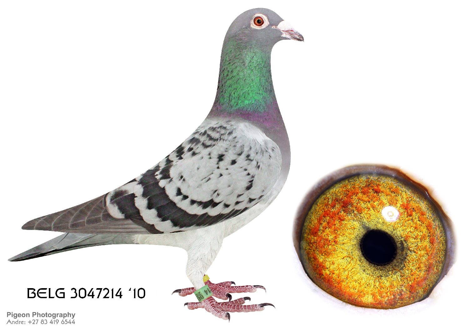 Top Pigeon – Racing pigeon auctions in SA and abroad